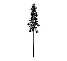 Silhouette Of Tall Skinny Pine...