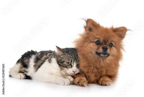 stray cat and spitz © cynoclub
