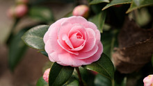 Blossoms Of Pink Camellia , Ca...