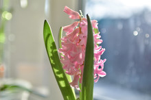 Flower Of Pink Hyacinth In The...