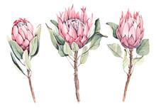 Hand-drawn Watercolor Protea. ...