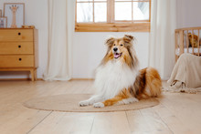 The Rough Collie Dog At Home. ...