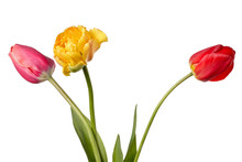 One Yellow And Two Red Tulips Isolated On A White Background