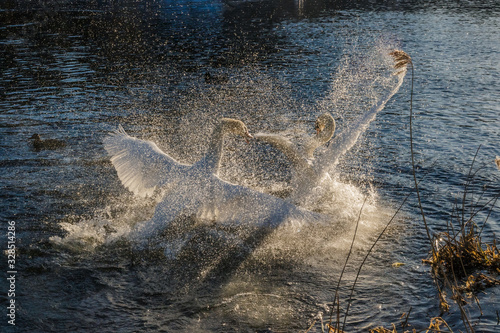 Valokuva The battle of two swans hidden behind a column of spray sparkling in the sun