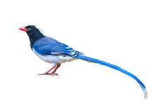 Blue Magpie Bird On White Back...