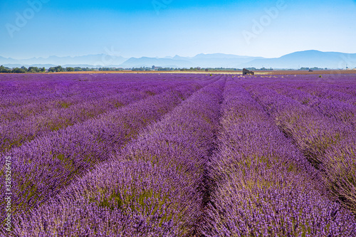 Fototapeta Sunrise over blooming fields of lavender on the Valensole plateau in the Provence in southern France. obraz na płótnie