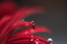 Drops On Petals Of Red Flower