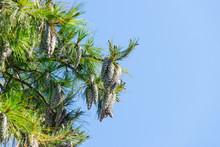 Close Up Of Big Pine Cones Gro...