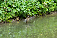 Wild Duck Is Swimming In The Pond. Bird In The Lake