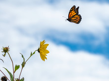 Monarch Butterfly Flying To Su...