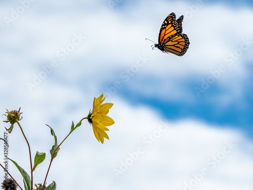 Vászonkép monarch butterfly flying to sunflower