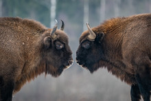 European Bisons, Russia