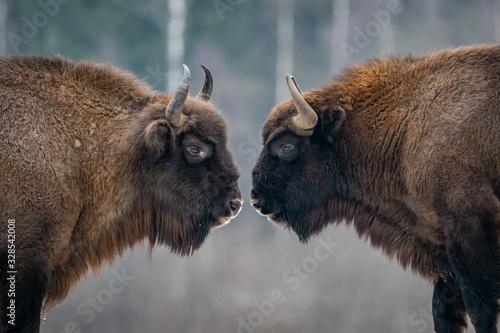Fototapeta European Bisons, Russia