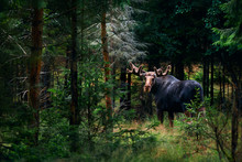 Big Male Bull Moose (Alces Alces) In Deep Forest Of Sweden. Big Animal In The Forest. Elk Symbol Of Sweden