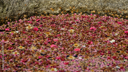 fallen petals in stagnant water at apricot tree farm Canvas Print