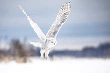 Snowy Owl (Bubo Scandiacus) In Flight Hunting Over A Snow Covered Field In Ottawa, Canada