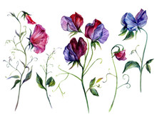Watercolor Sweet Pea Flowers Collection