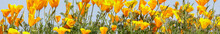 California Poppies In Bloom. S...