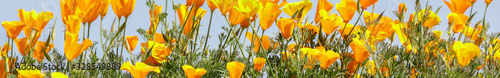 Fotografia, Obraz California Poppies in bloom. Santa Clara County, California, USA.