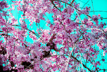 Beautiful Cherry Blossom,sakur...