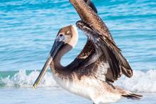 Pelican Flap