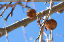Branch Of Platanus Orientalis With Round Sycamore Fruit Against The Blue Sky.
