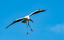 Wood Stork Flying Over Nesting...