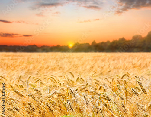 Field barley in period harvest on background sunset evening Canvas Print