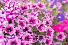 Varietal Ampel Purple Petunia With Cascading Blooms - Greening Of The City . Concept Of Landscape Design Of The City .