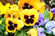 Bunte Stiefmütterchen Als Frühlingsblumen