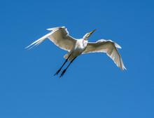 Great White Egret Flying Over ...