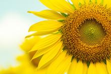 Close Up A Part Of Sun Flower
