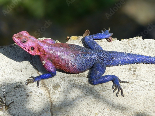 Southern tree agama by Lake Victoria Wallpaper Mural