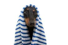 Portrait Dachshund Dog Wrapped...