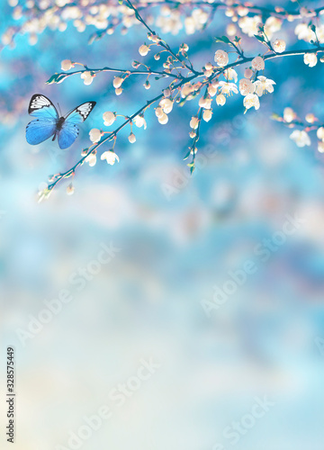 Fototapeta Cherry blossoms over blue nature background