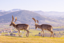 Two Adult Male Deer Walking High On The Mountain. Valley And Civilization In The Background.