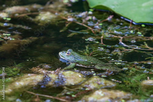 Frog - Anura in water in overgrown pond in water Canvas Print