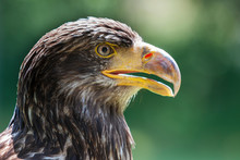 Portrait Of A Young Bald Eagle...