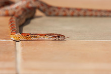 Red Snake - Pantherophis Guttatus Crawls On The Pavement And Has Its Tongue Out