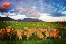 Herd Of Jersey Cows Stretching Accross A Green Field With A Mountain Landscape In The Distance And Cloudy Sky As The Sun Goes Down