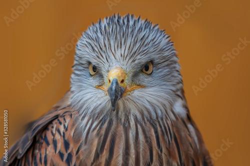 Red Kite - Milvus milvus portrait close-up on brown background Canvas Print