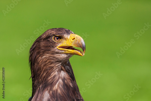 Photo Sea eagle - Haliaeetus albicilla portrait from side view with open beak on green light background