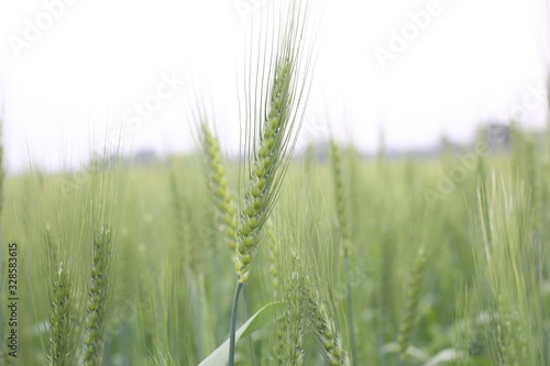 Obraz Field Young Green Wheat Cultivated Agricultural - fototapety do salonu