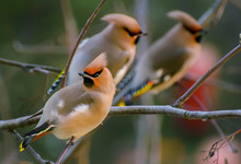 Waxwing Is A Songbird Of The O...