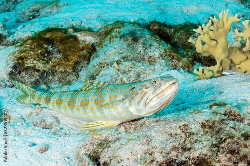 Sand Diver lying in wait to ambush its prey - Bonaire Canvas Print