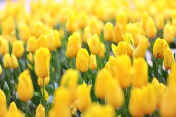 Spring blossoming yellow tulips field, springtime flower field background, pa...
