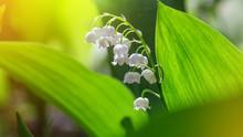 Lily Of The Valley (Convallari...