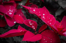 Beautiful Water Drops On Red P...