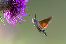 N Hummingbird Hawk-moth (Macro...