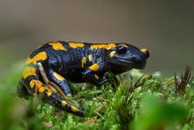 Gorgeous Fire Salamander, Salamandra Salamandra